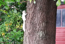 The albino squirrel pictures on the side of a tree in Louis's Edinburgh garden.