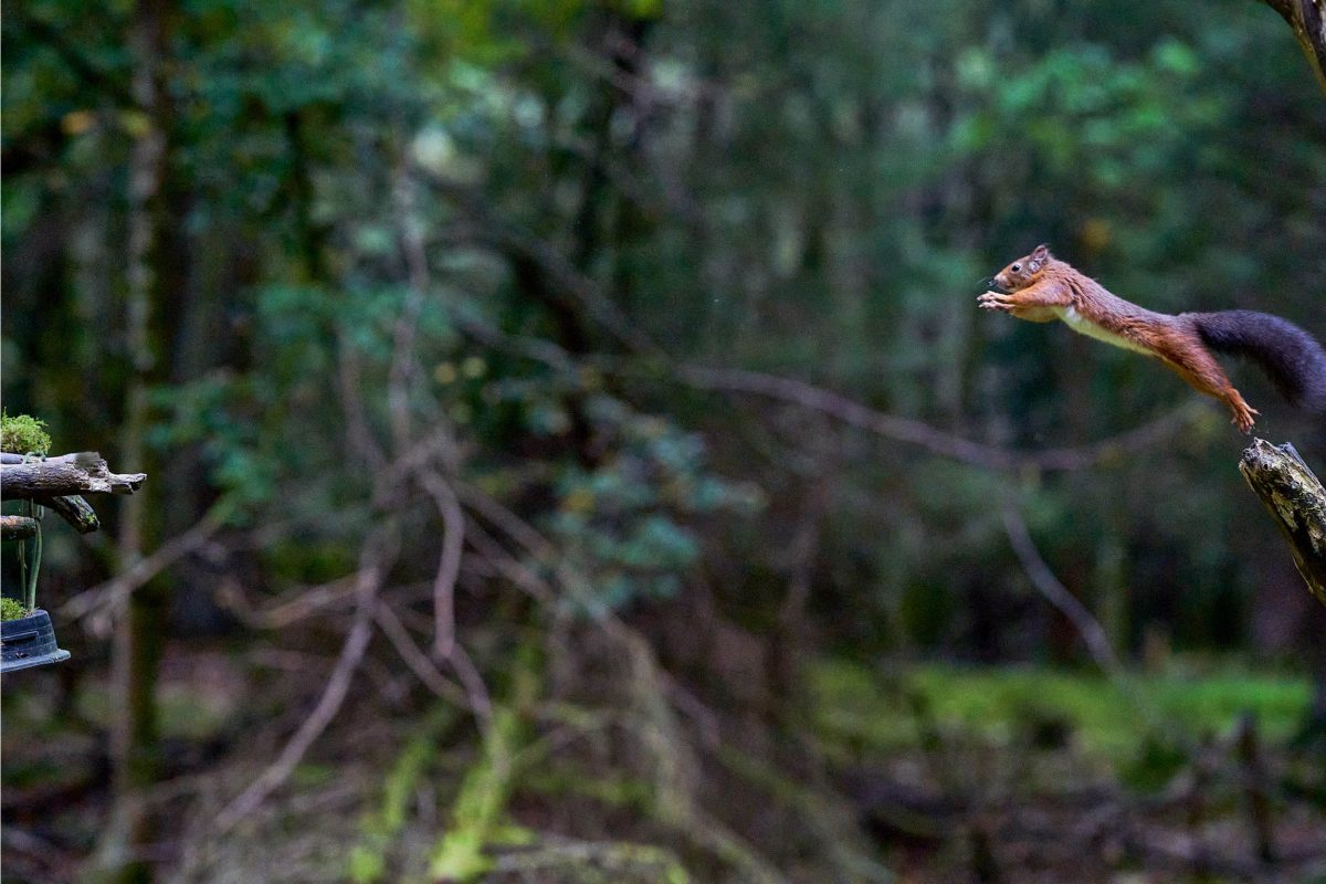 The squirrel beginning its leap