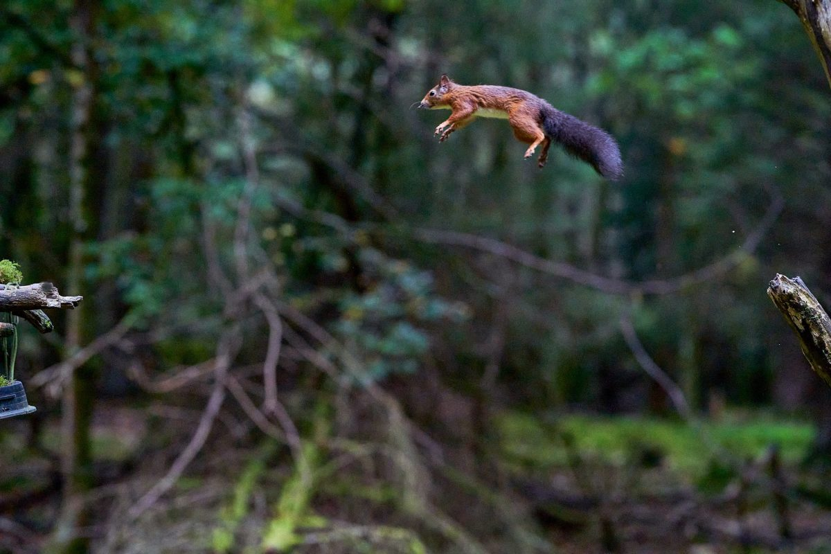 The squirrel flying through the air