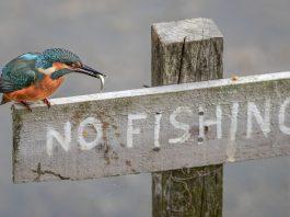 Kingfisher no fishing