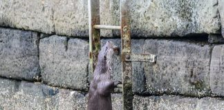 The otter continuing to climb the ladder